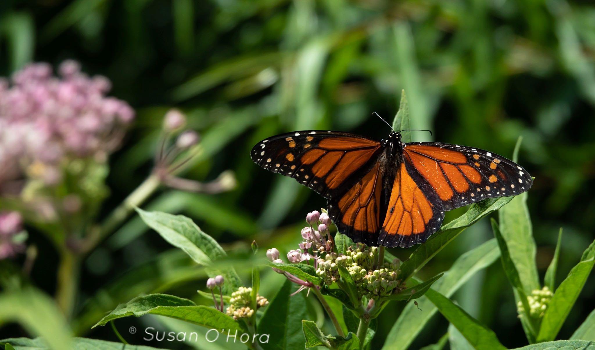 Butterfly_SOHORA.jpg