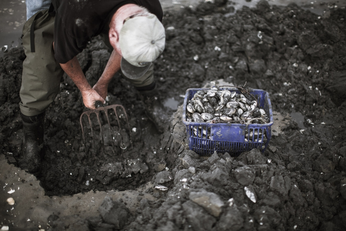 Licensed clammers can take up to 250 pounds per tide. (Photograph by Matt Kalinowski)