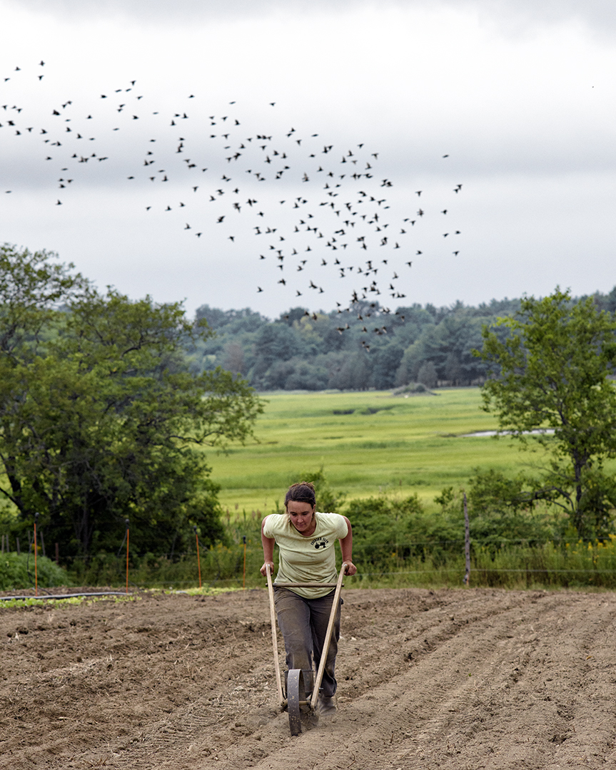 Courser seeding winter radishes in late summer with the beloved, ancient, Planet Jr. push-seeder. (Photograph by Paul Cary Goldberg)