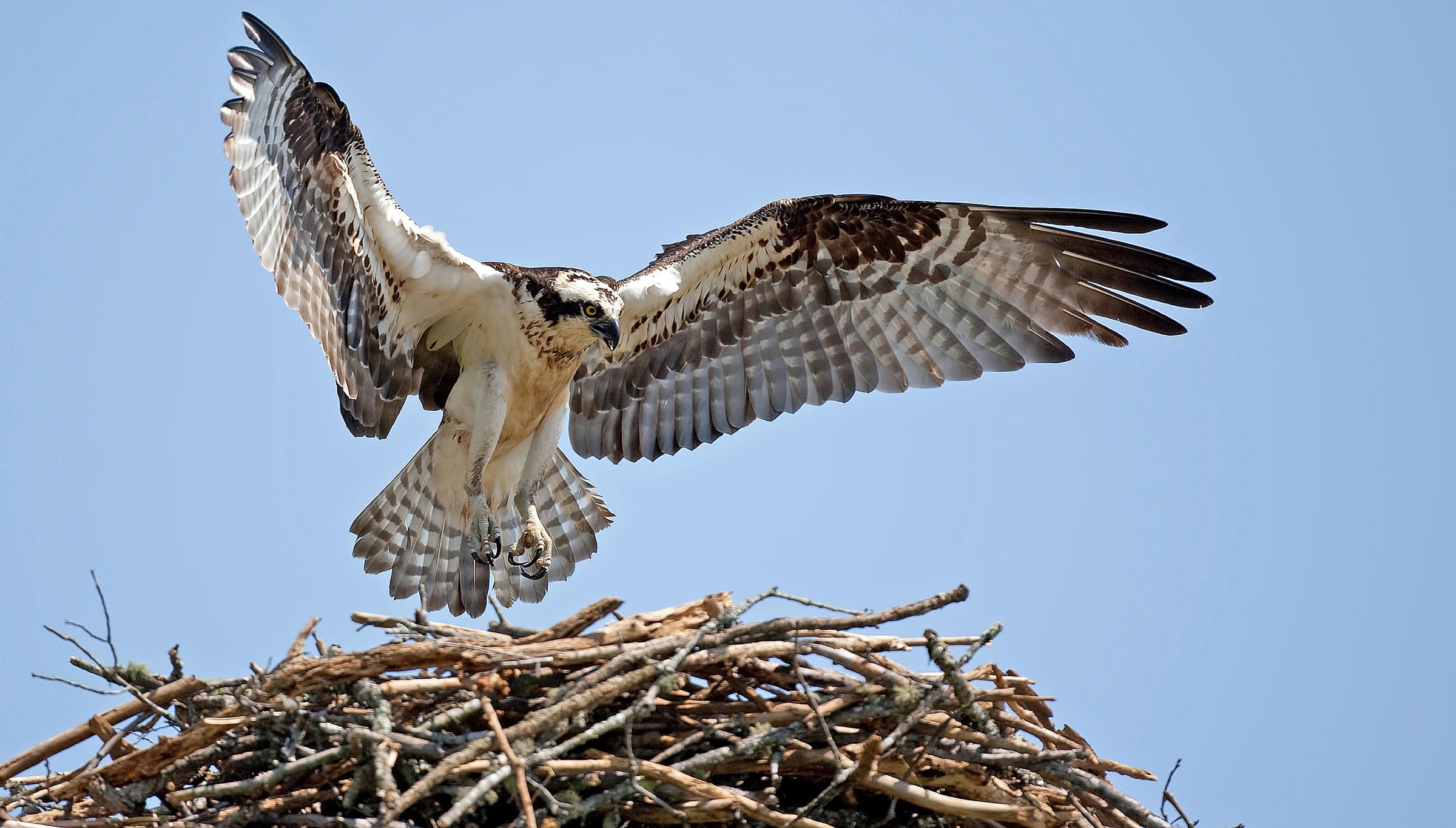 An osprey descends on its nest. (Photograph by Bob Howdeshell/Wiki Commons)