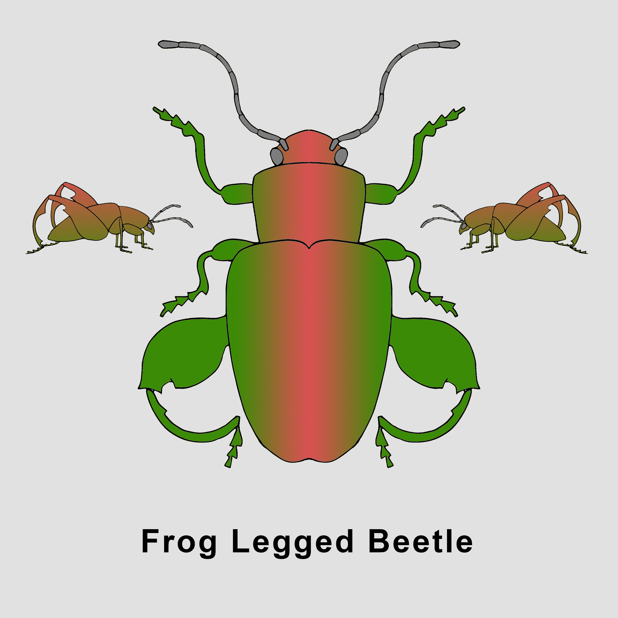 Frog legged Beetle.jpg