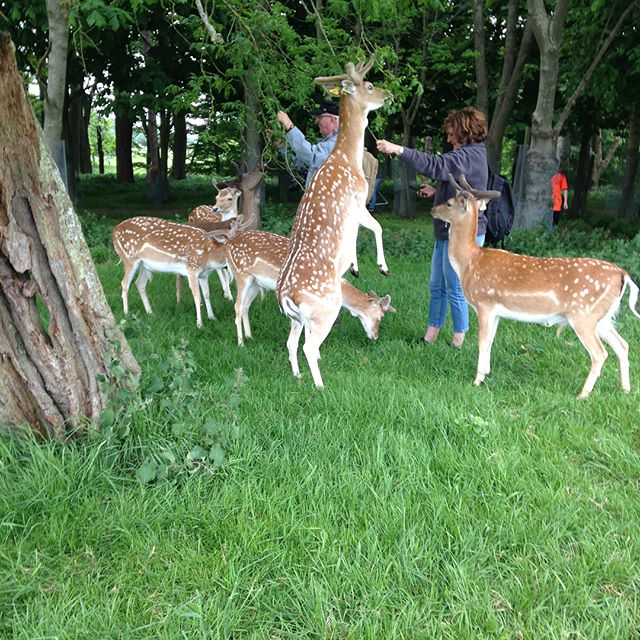 Thanks @allthejellyfish for getting Mike and I out of the house today to go and find some deer in Phoenix Park! I made it out alive despite their attempts to overwhelm me.