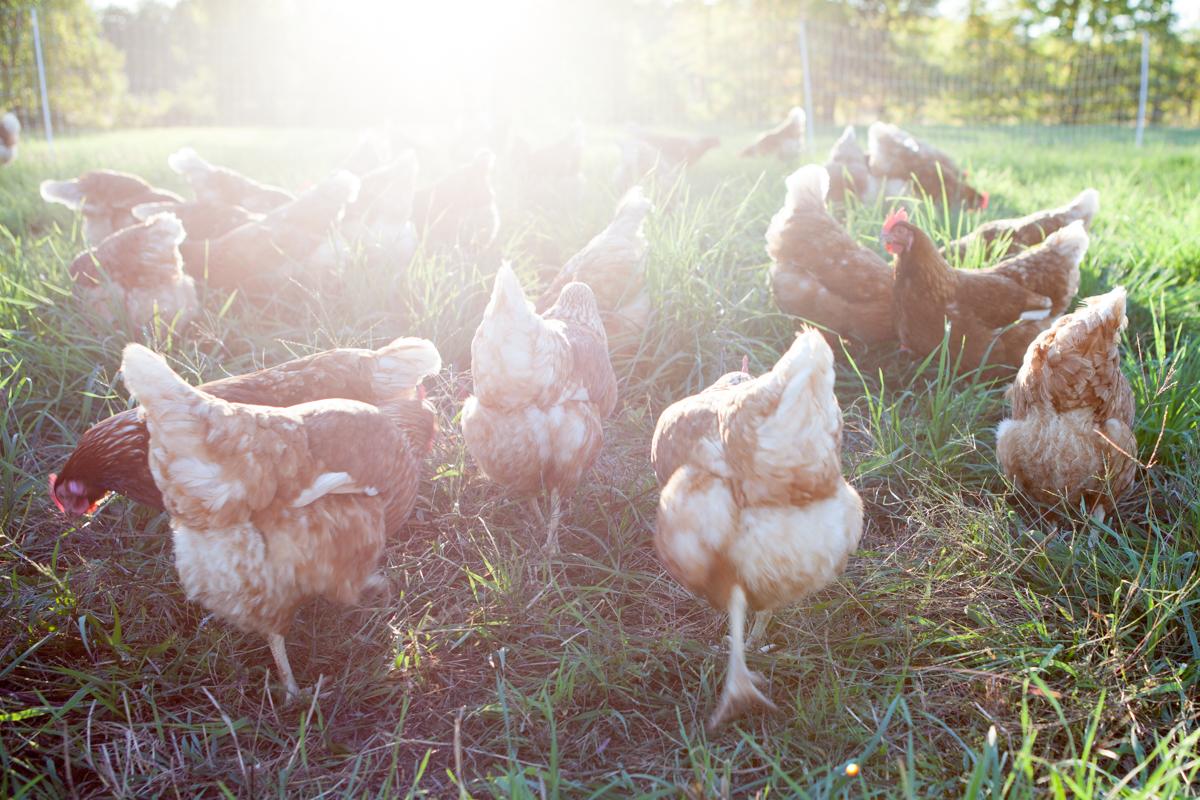 wingate_farm_eggs_alyssa_robb_photography-12.jpg
