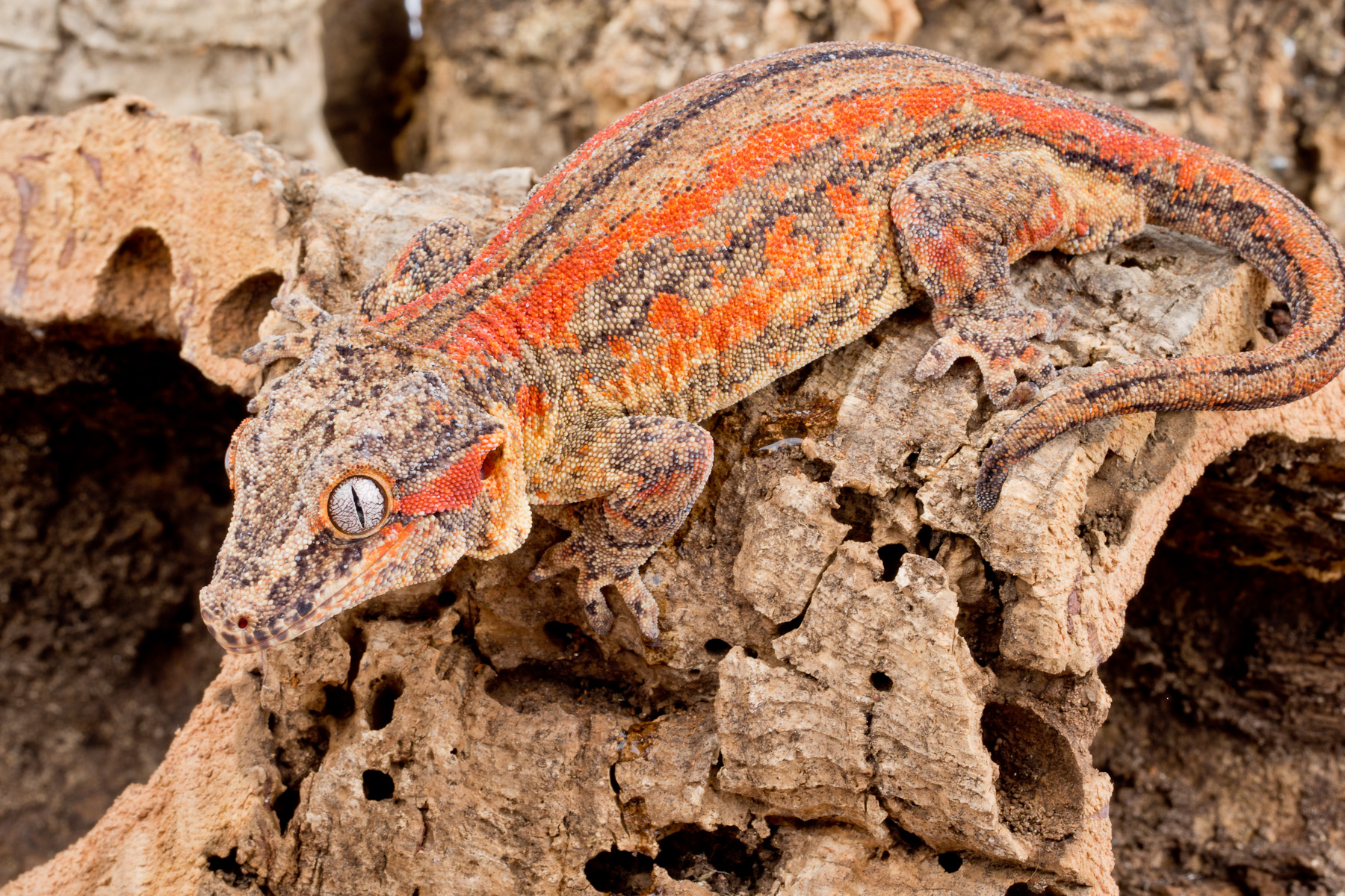 Group 1 red/orange-striped female