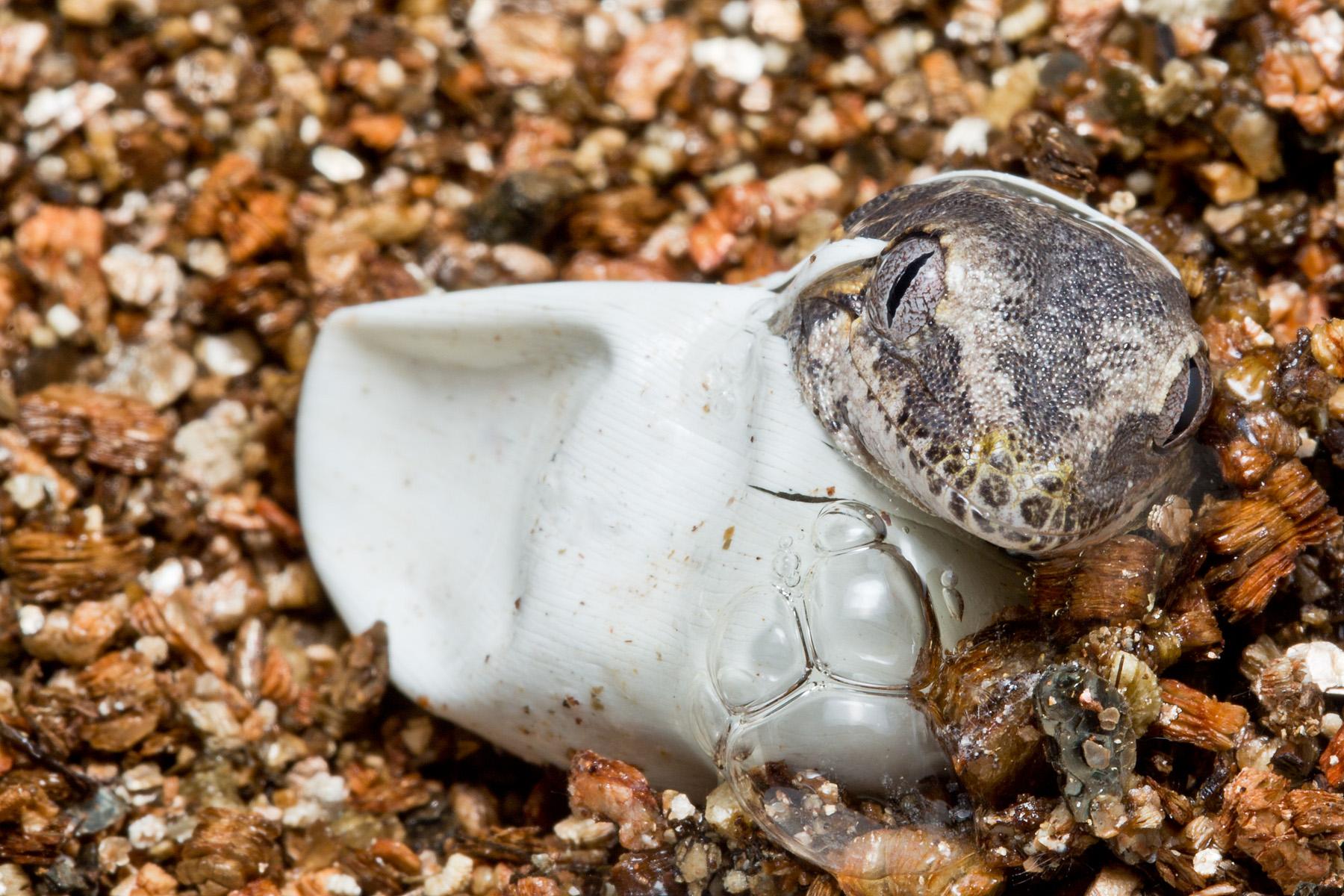 Rhacodactylus auriculatus hatching
