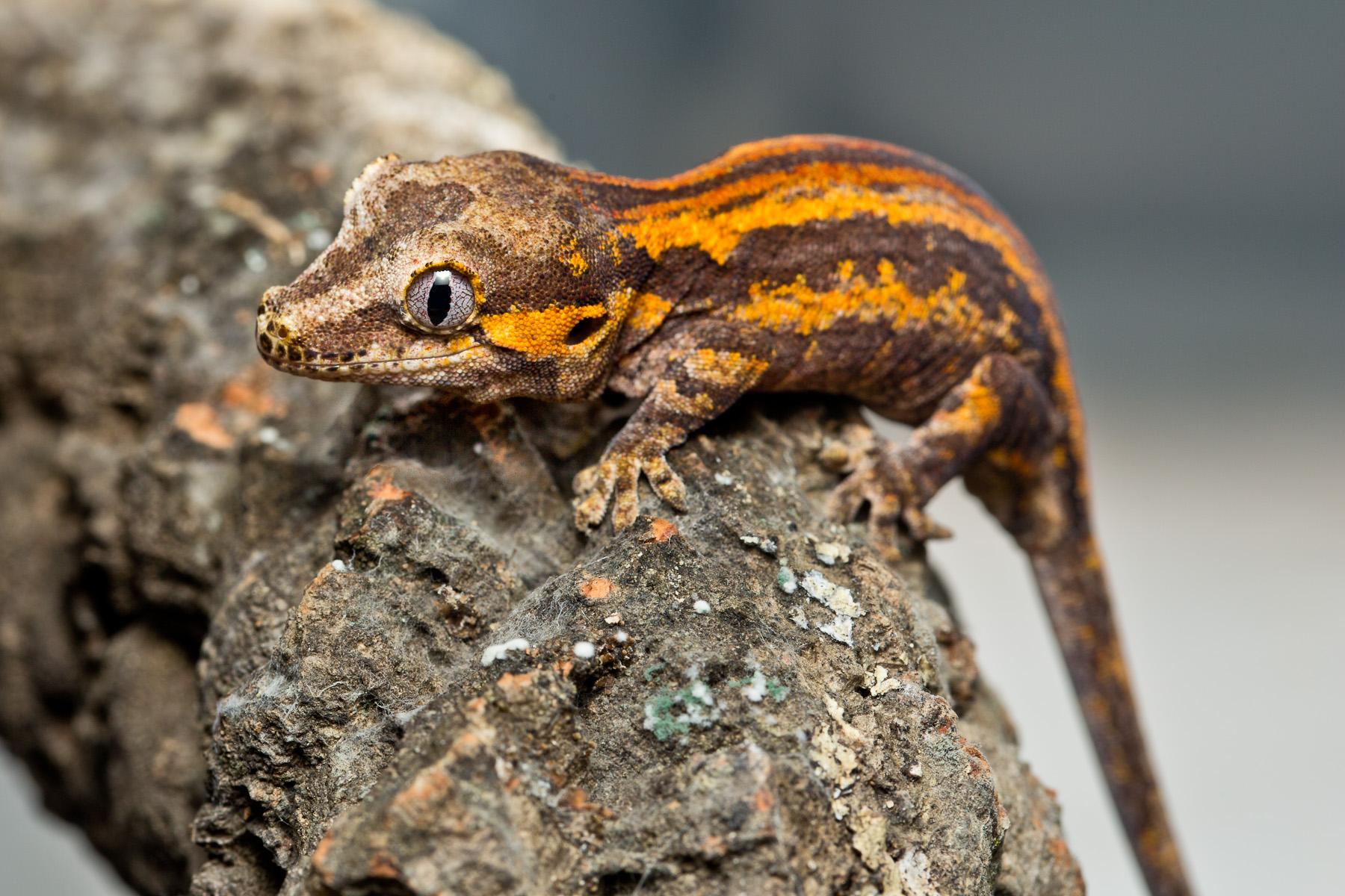 Rhacodactylusauriculatus1_sRGB_1800x1200_72ppi.jpg