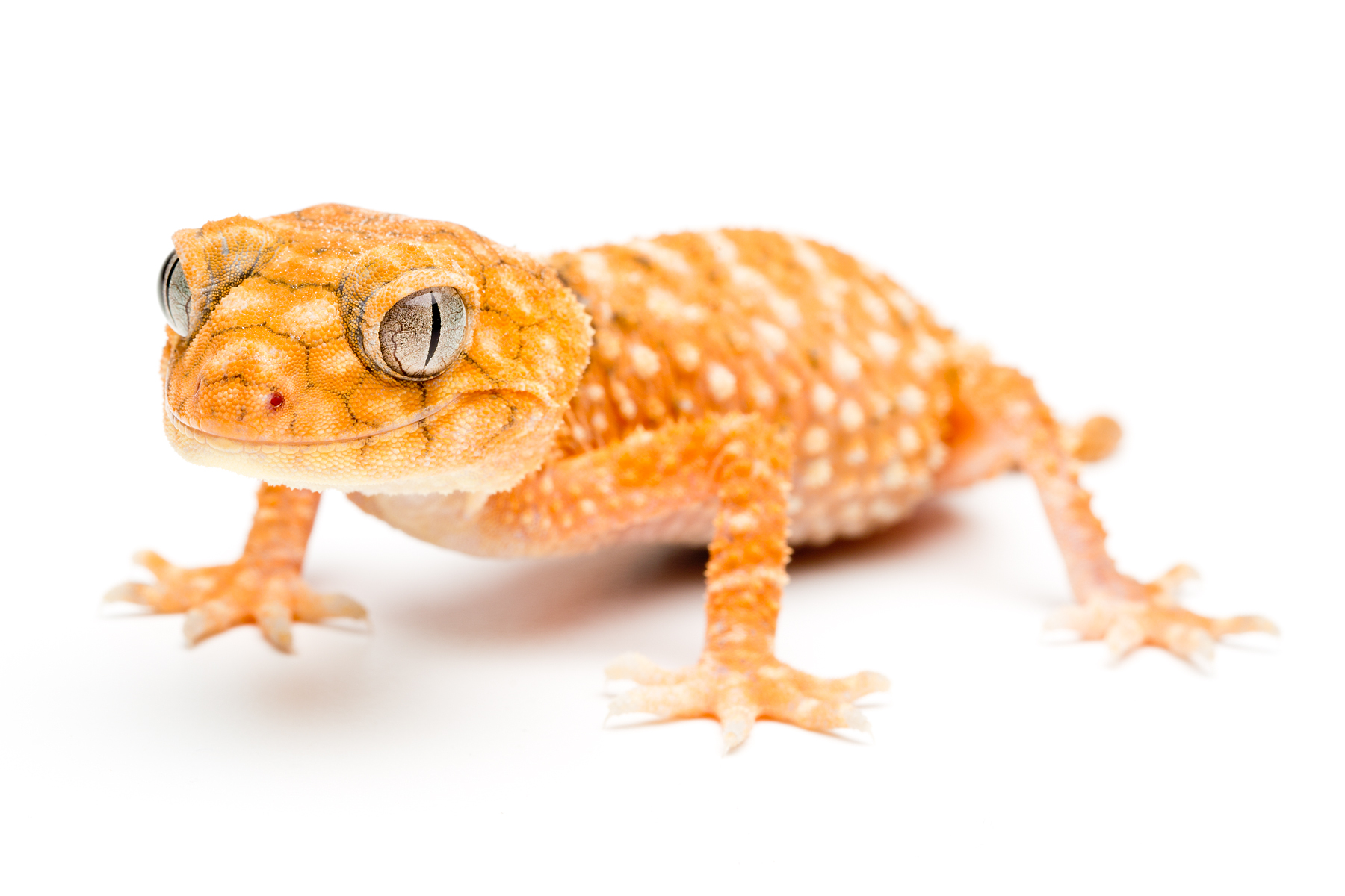 Juvenile Nephrurus amyae