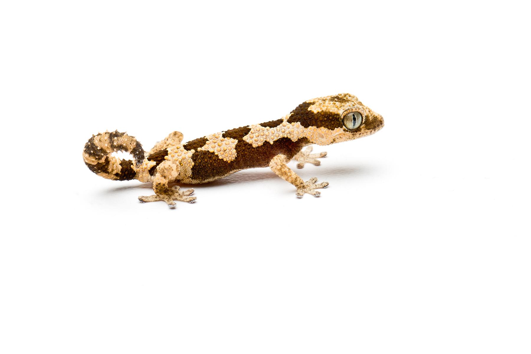 Hatchling Pachydactylus rugosus