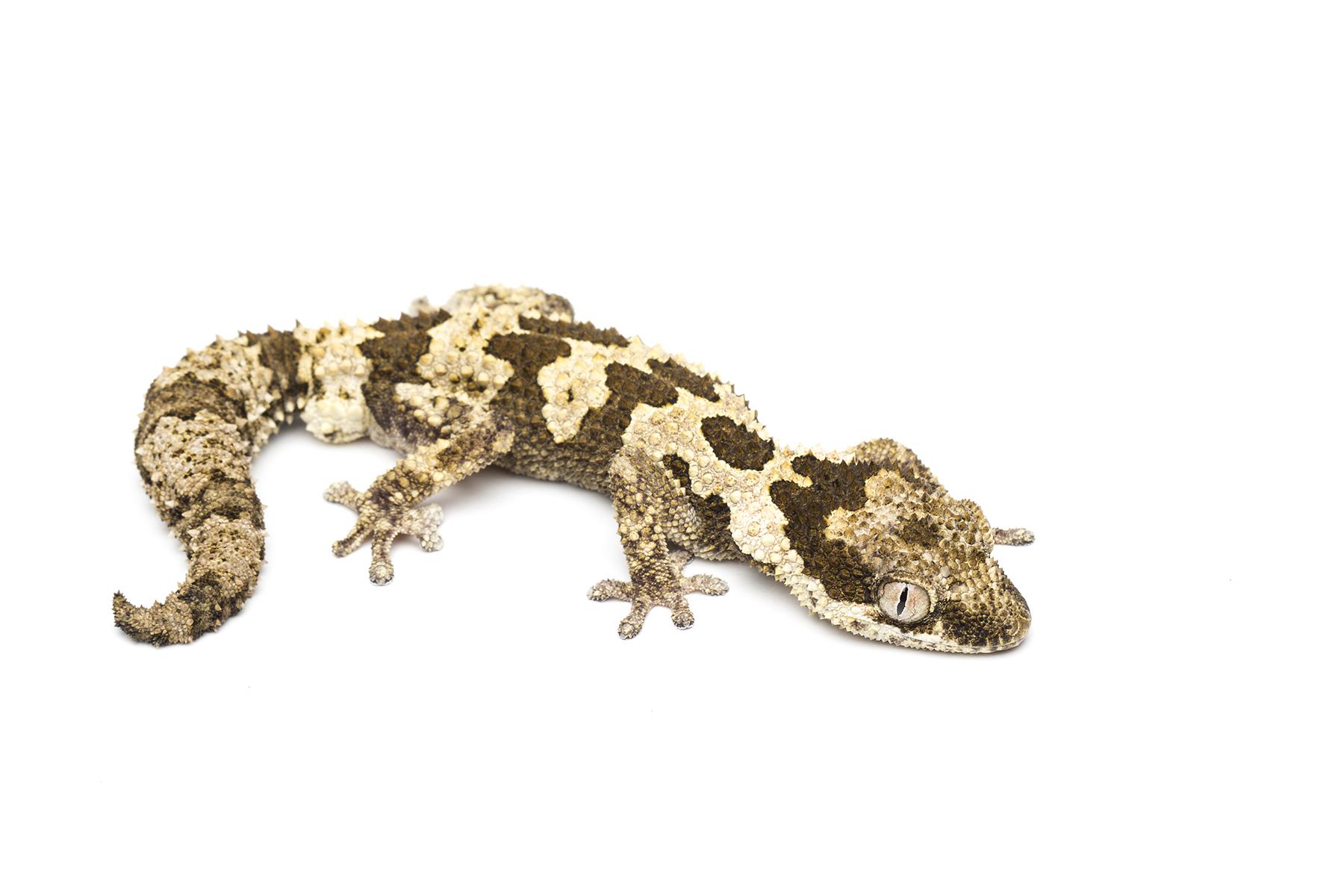 Adult male Pachydactylus rugosus
