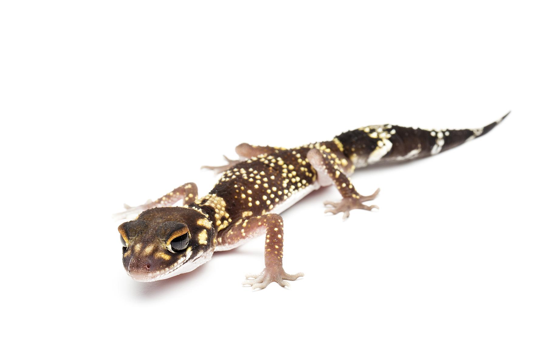 Male Undrwoodisaurus milii