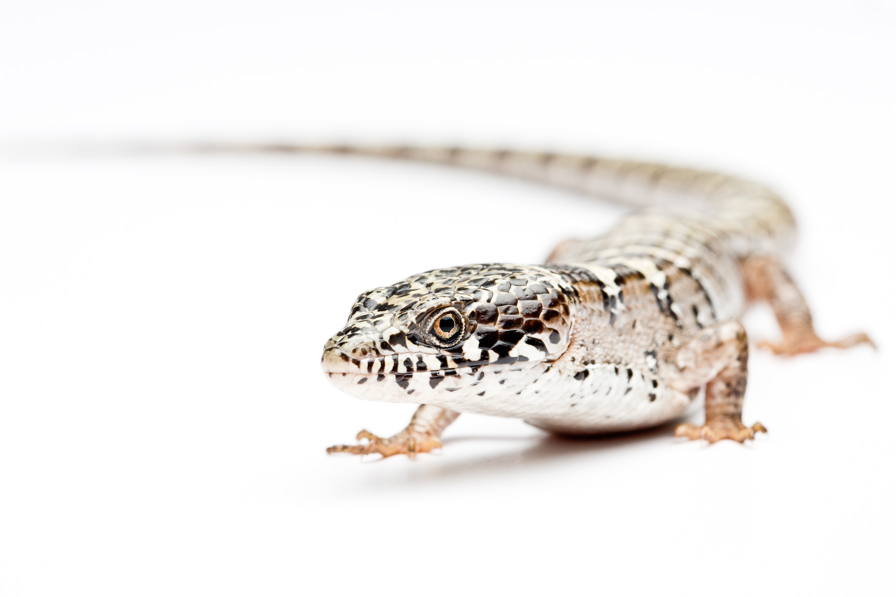 Adult male Madrean alligator lizard (White Mountains locale)