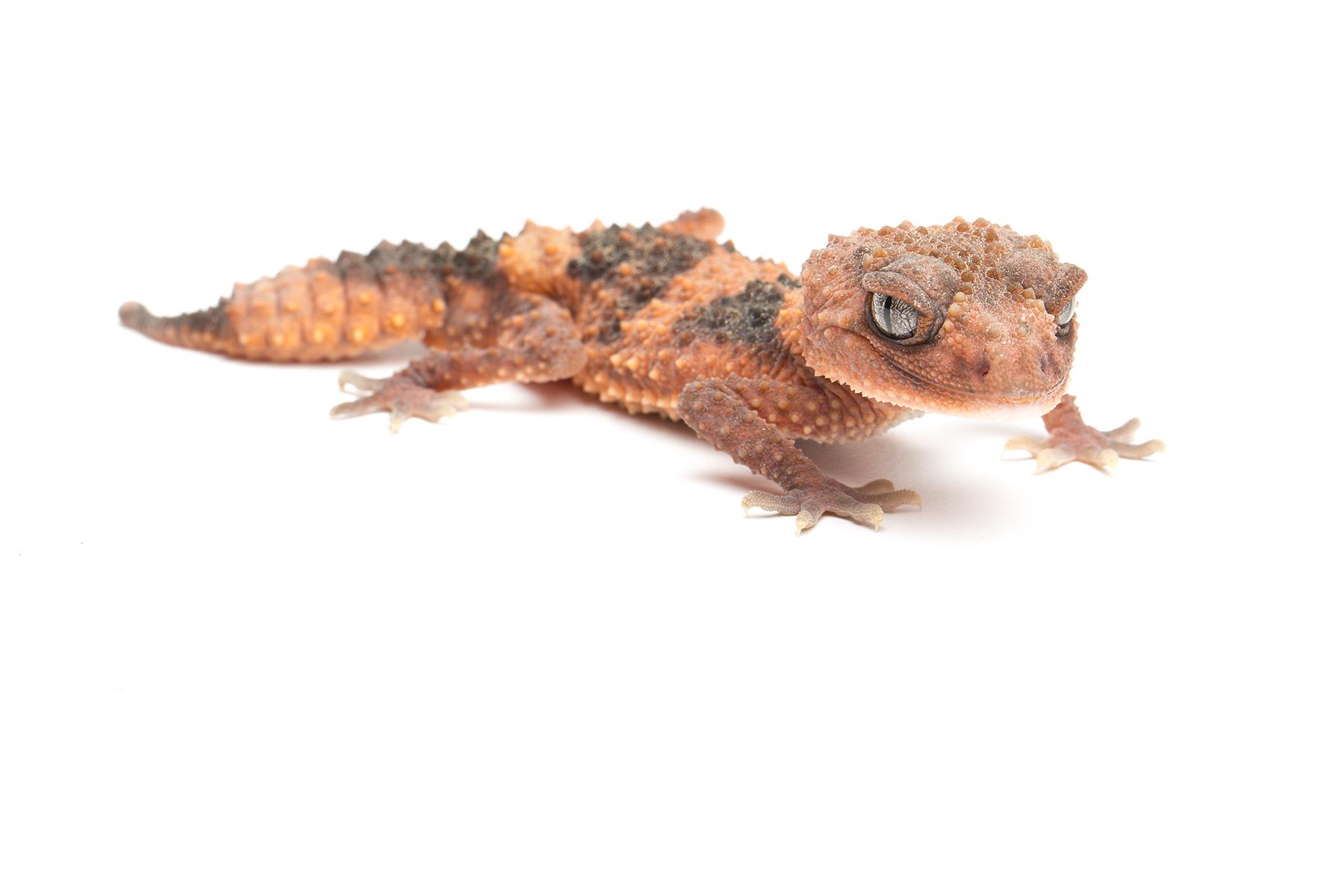 Adult male Nephrurus wheeleri cinctus