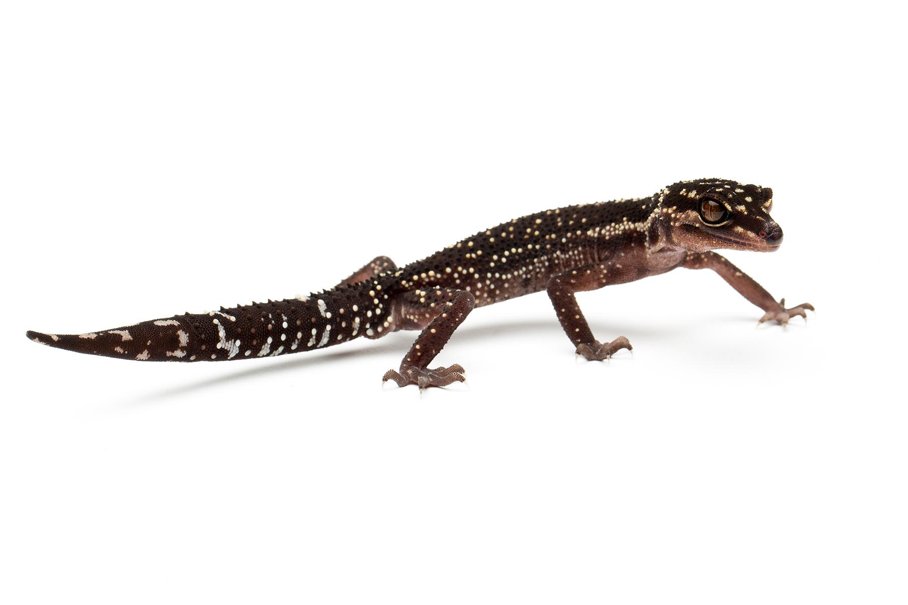 Adult male G. kuroiwae