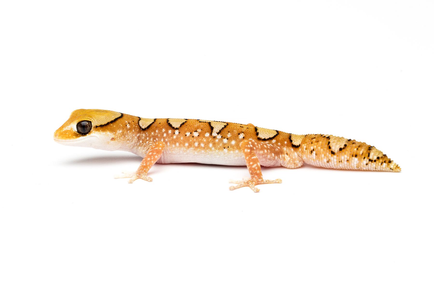 Adult male Diplodactylus galeatus