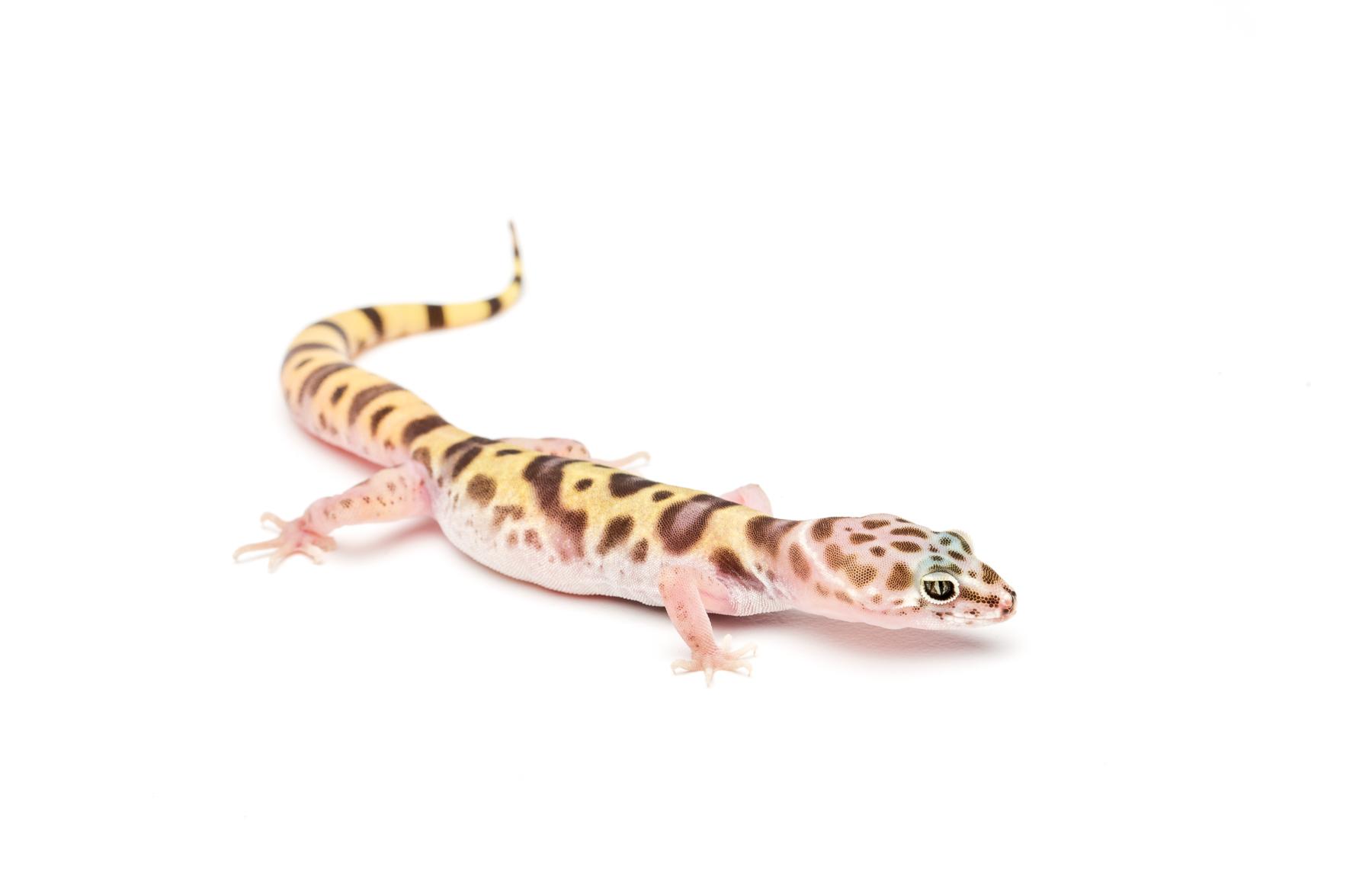 Female Tucson banded gecko (Coleonyx variegatus bogerti)