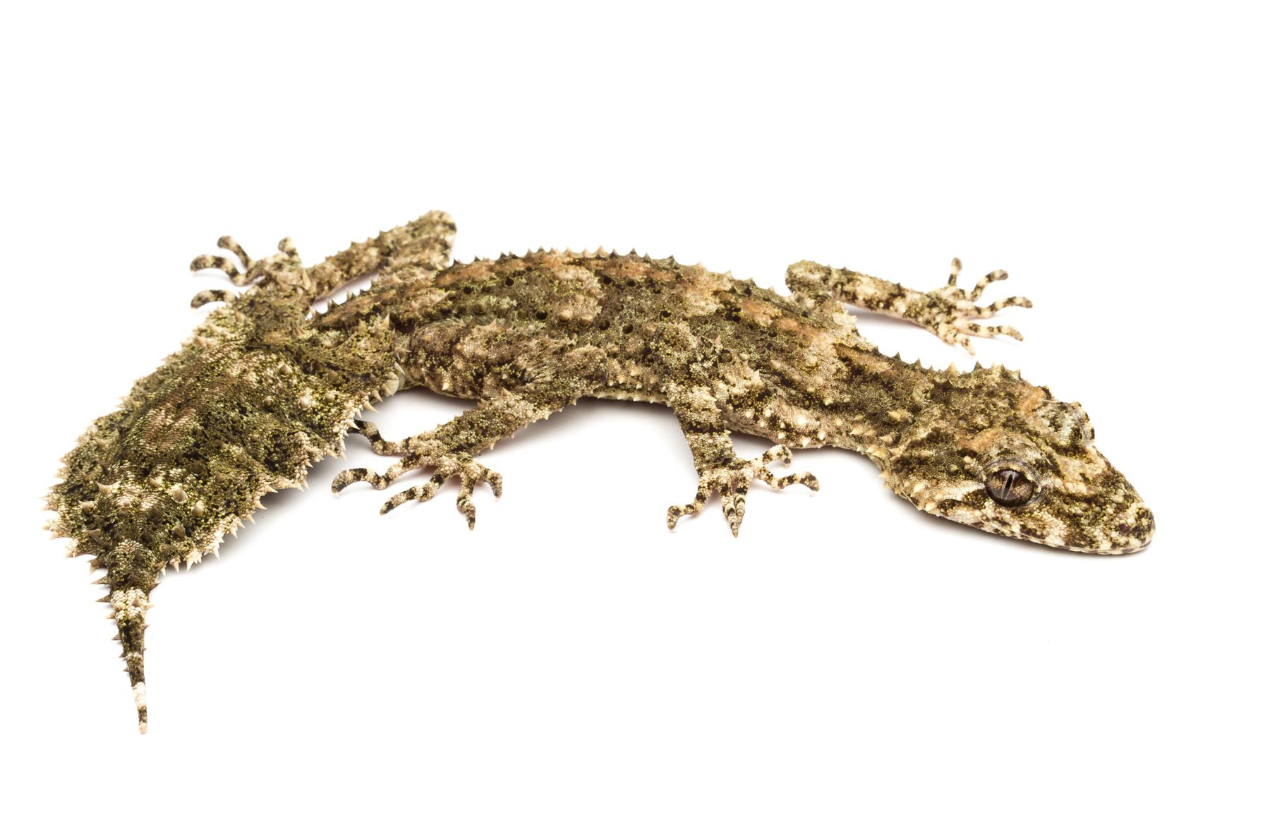 Subadult male Saltuarius wyberba