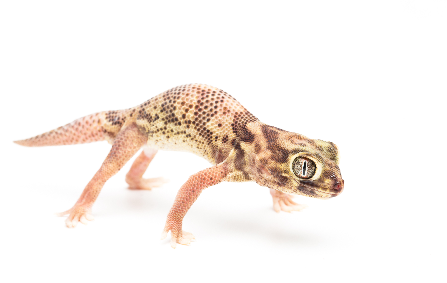 Adult male T. bedriagai in defensive posture