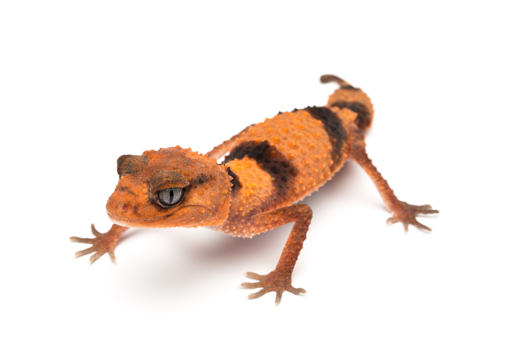 Adult female Nephrurus wheeleri cinctus