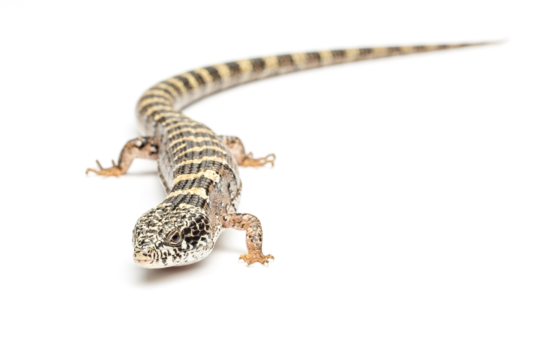 Adult male Madrean alligator lizard