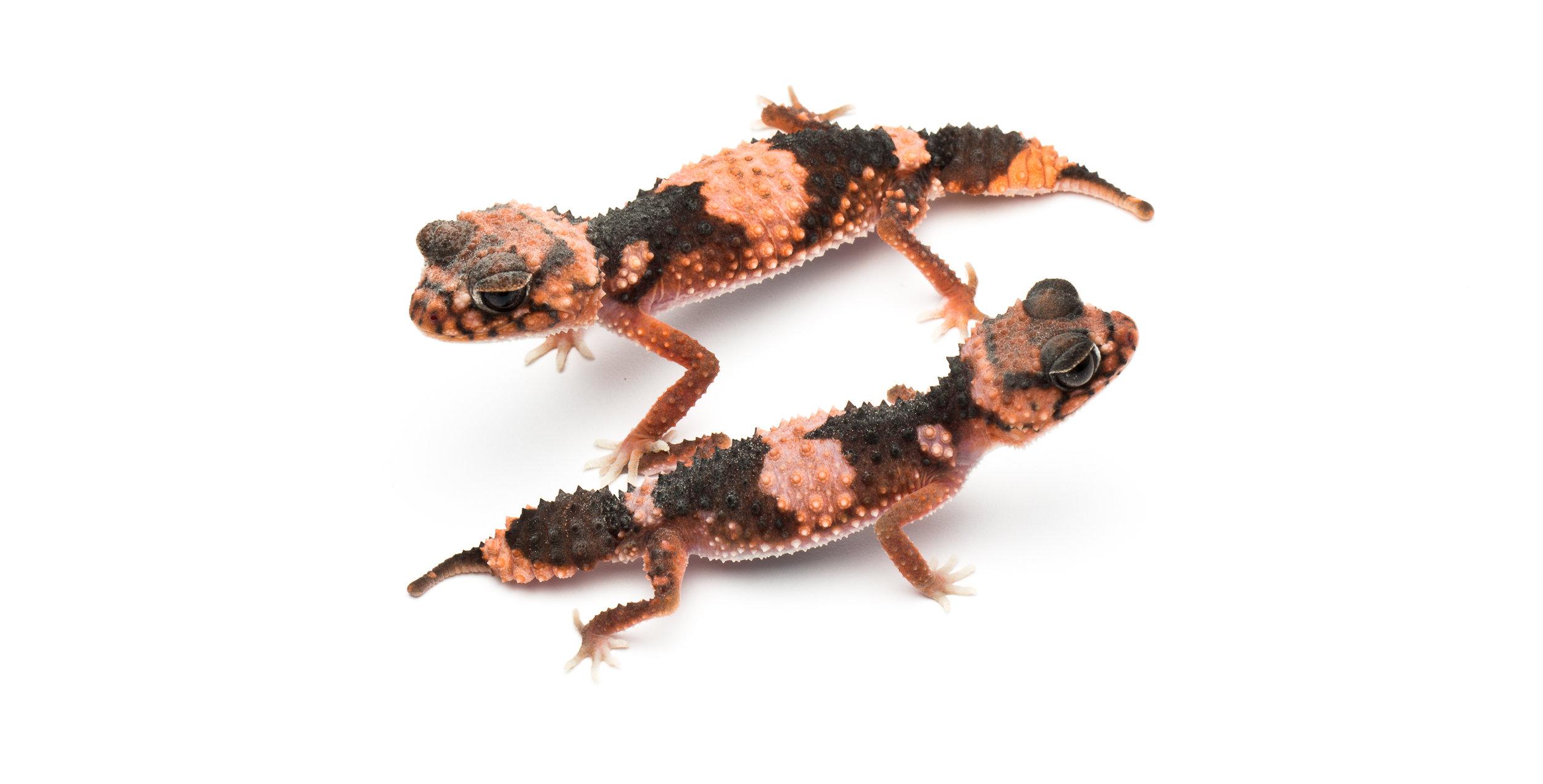 Pair of Nephrurus wheeleri wheeleri