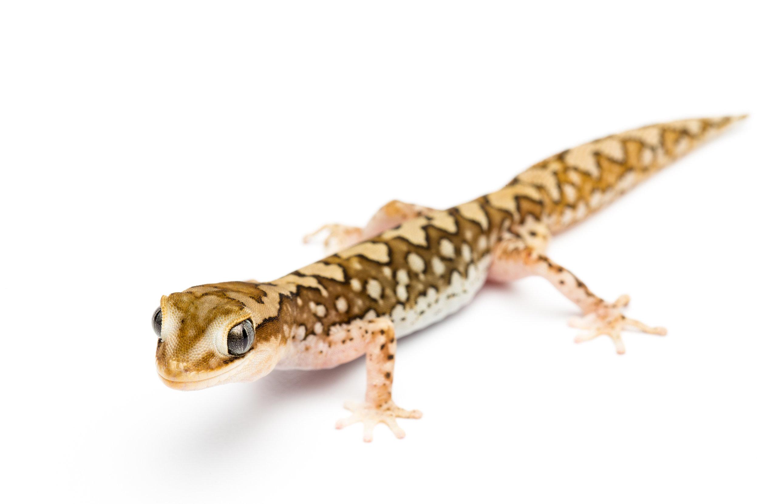 Adult male Diplodactylus furcosus