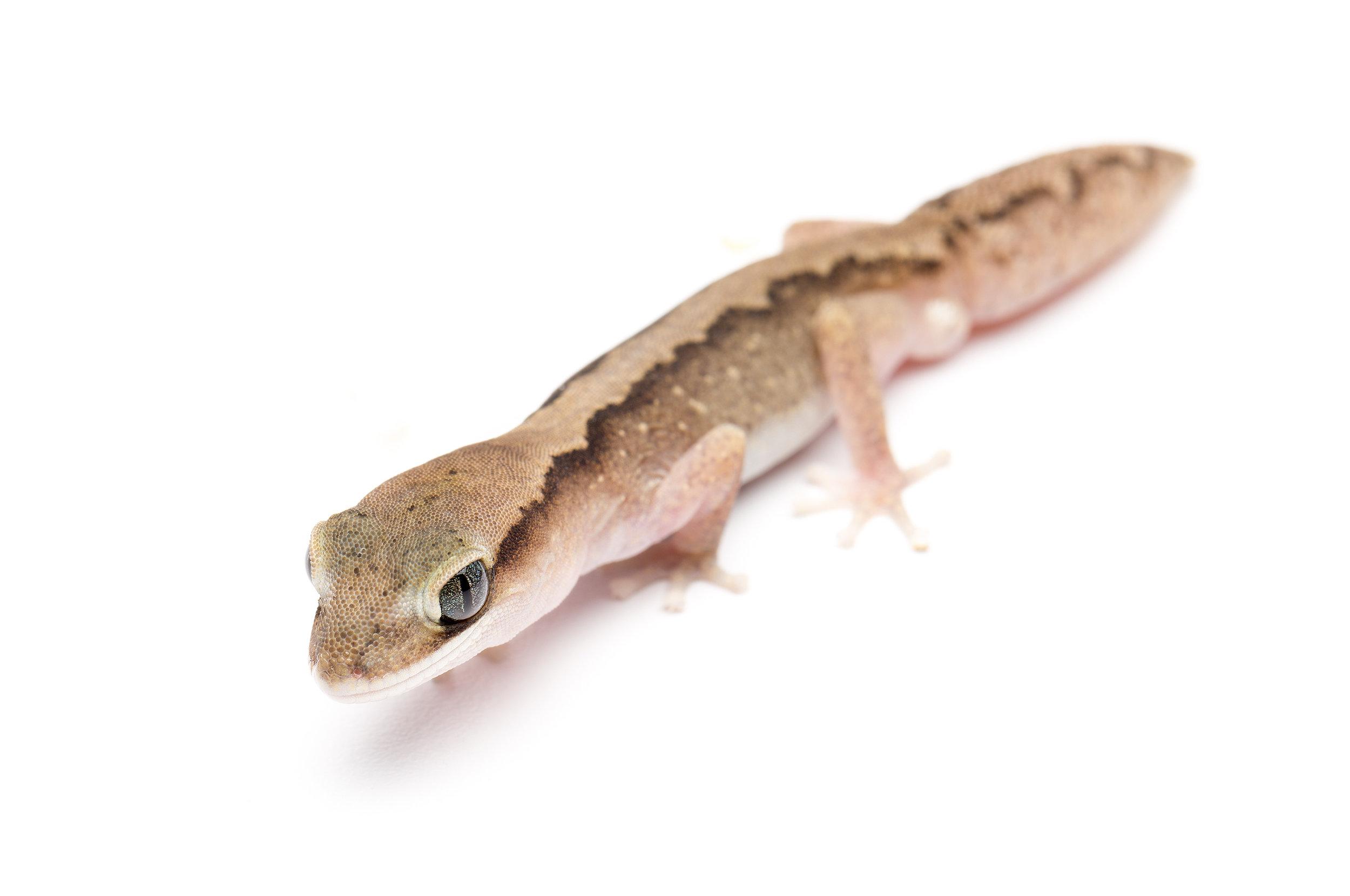 Male Diplodactylus vittatus