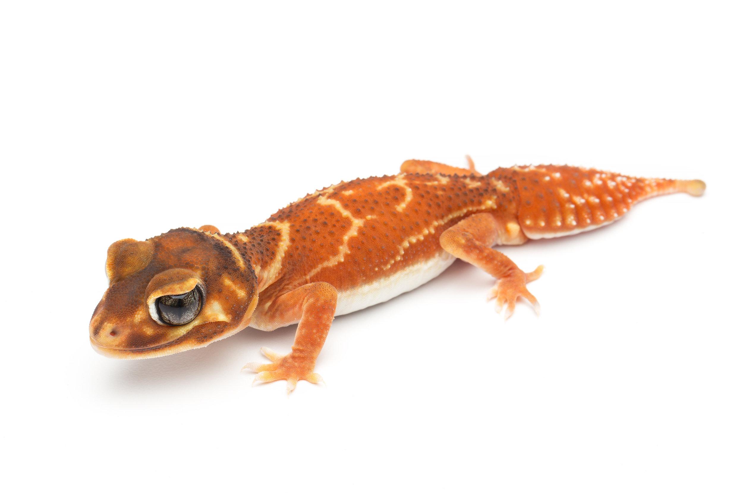 Male N. l. levis