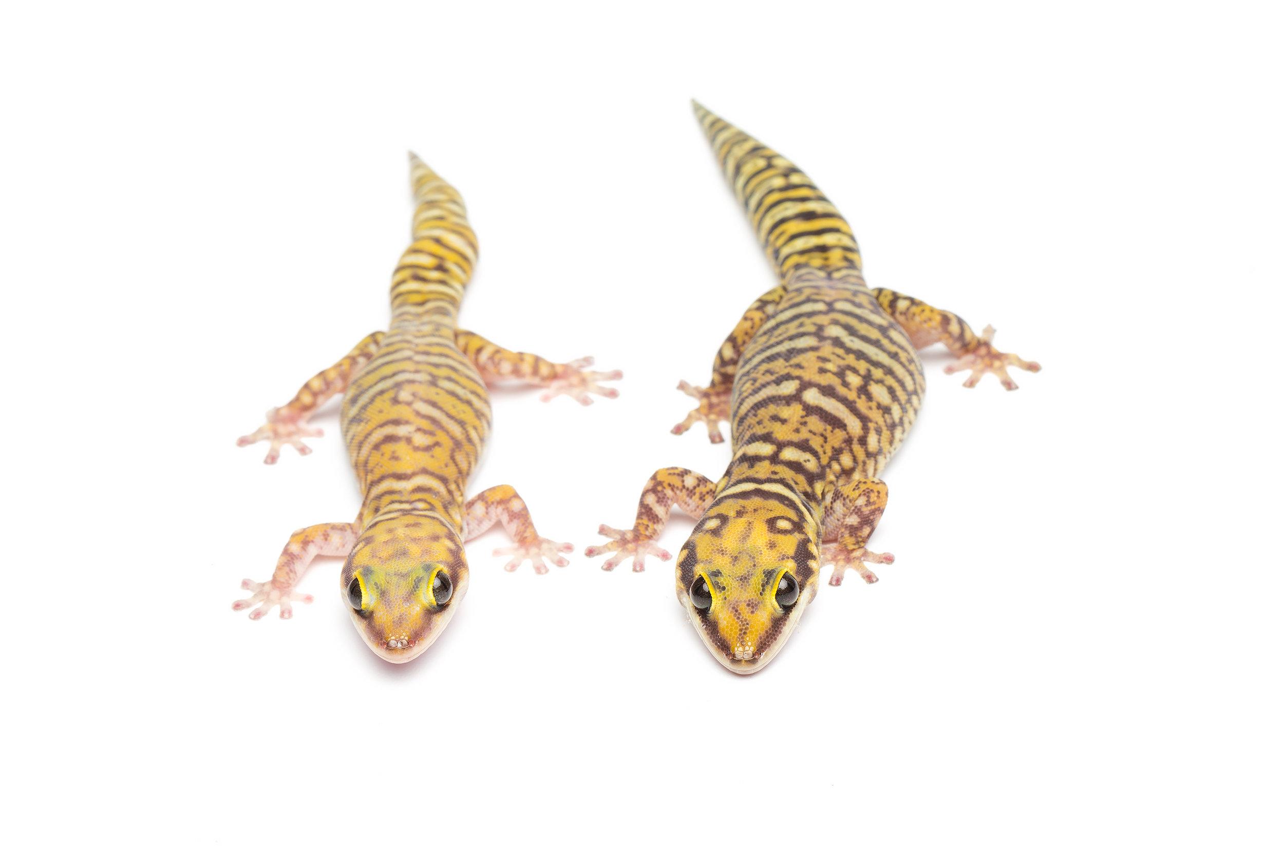 Adult pair