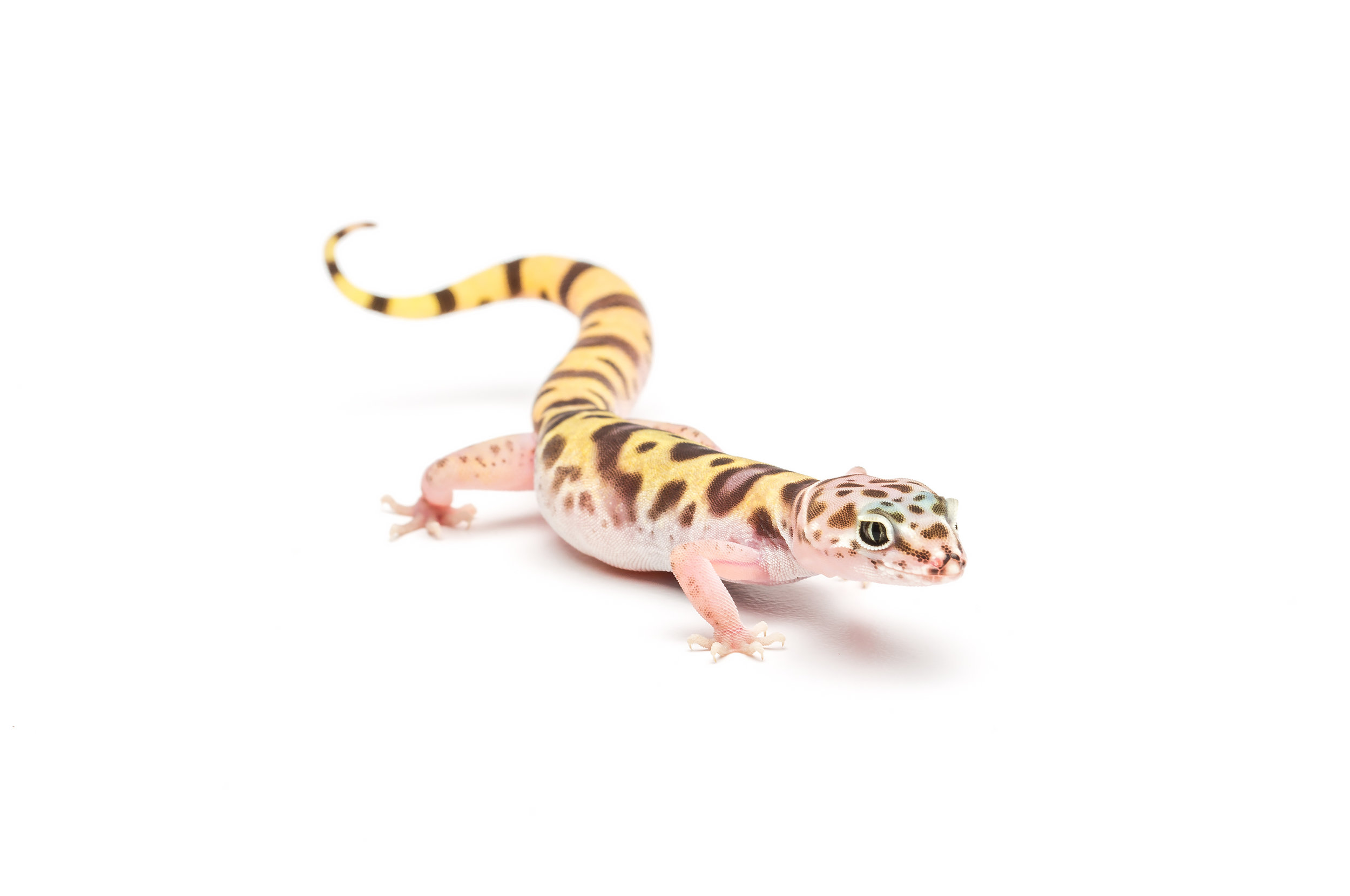 Adult female Tucson banded gecko