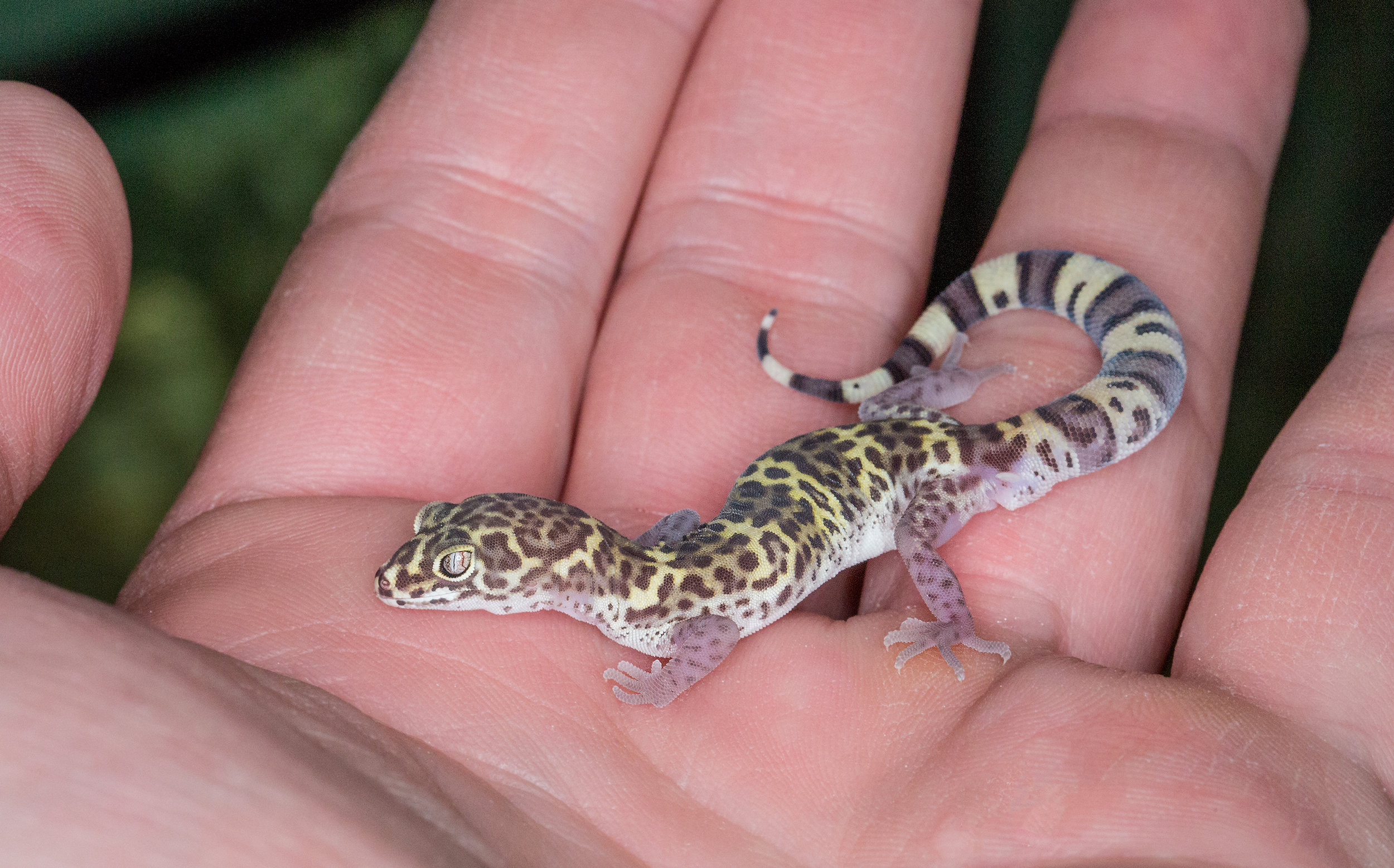 Adult male Texas banded gecko