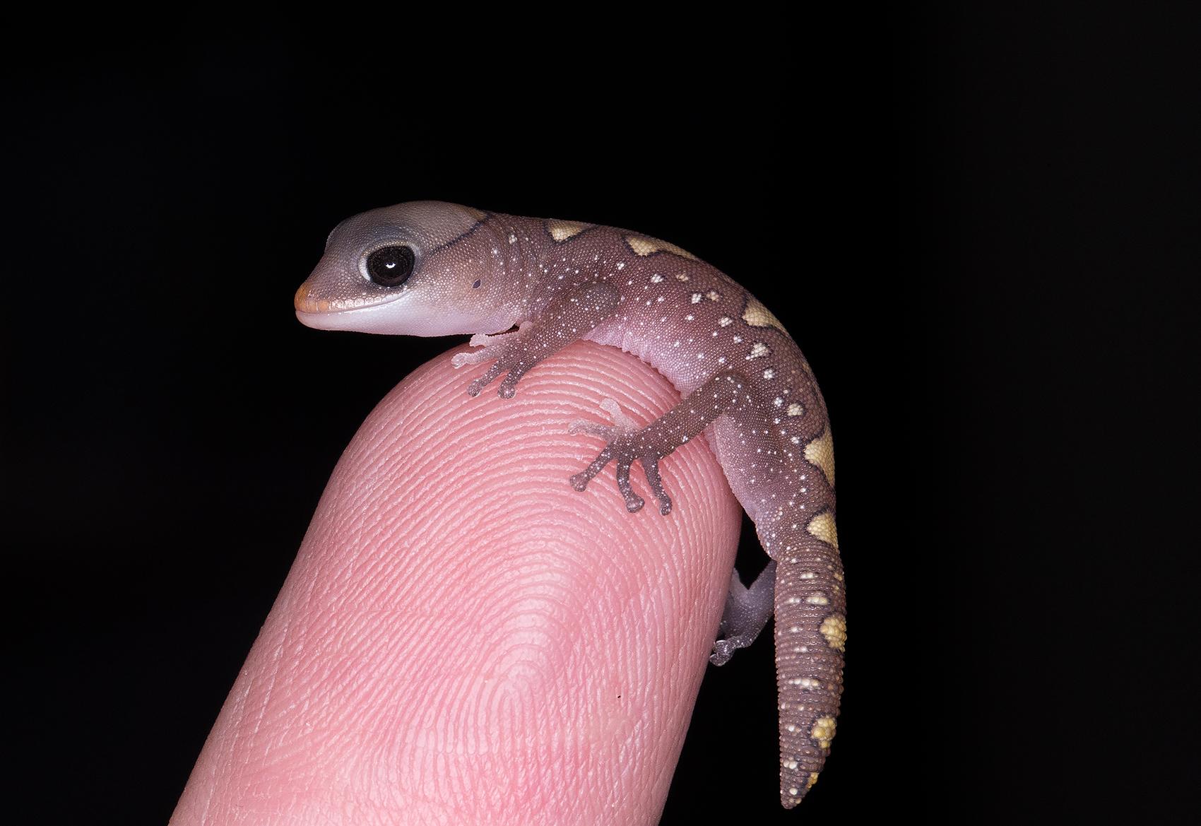 Hatchling Diplodactylus galeatus
