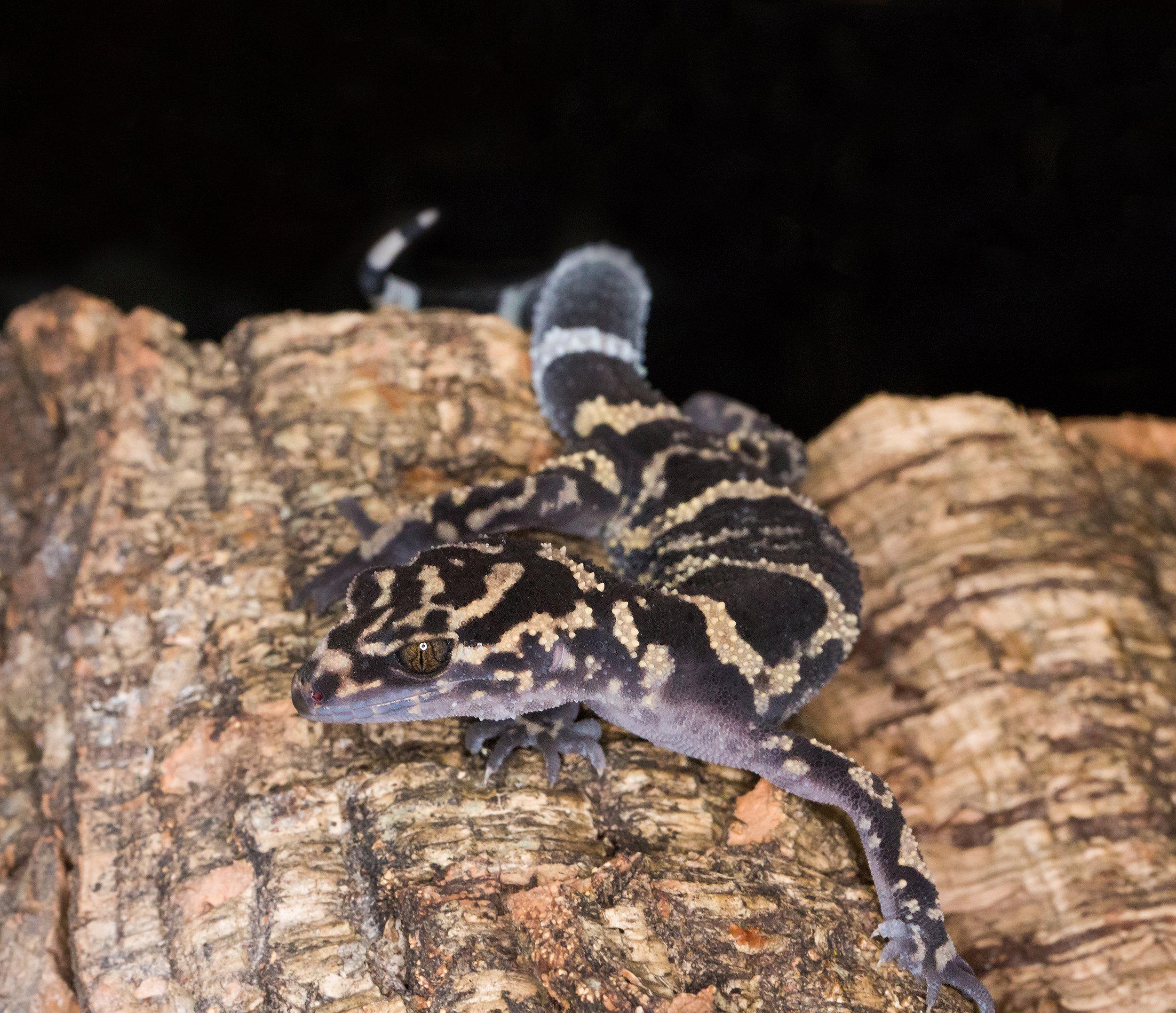 Adult female G. yamashinae