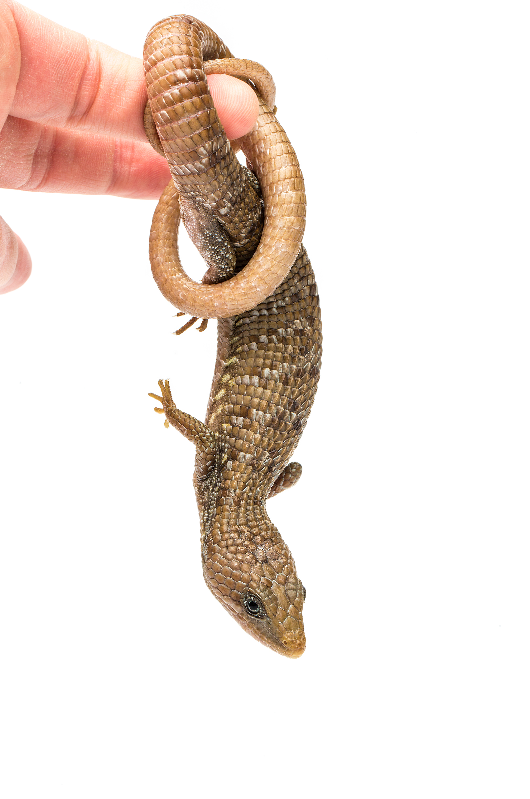 Adult male Texas alligator lizard