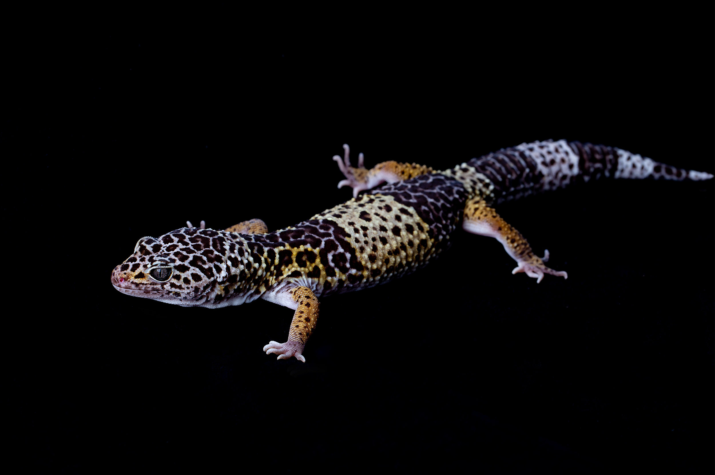 Adult male West Indian leopard gecko