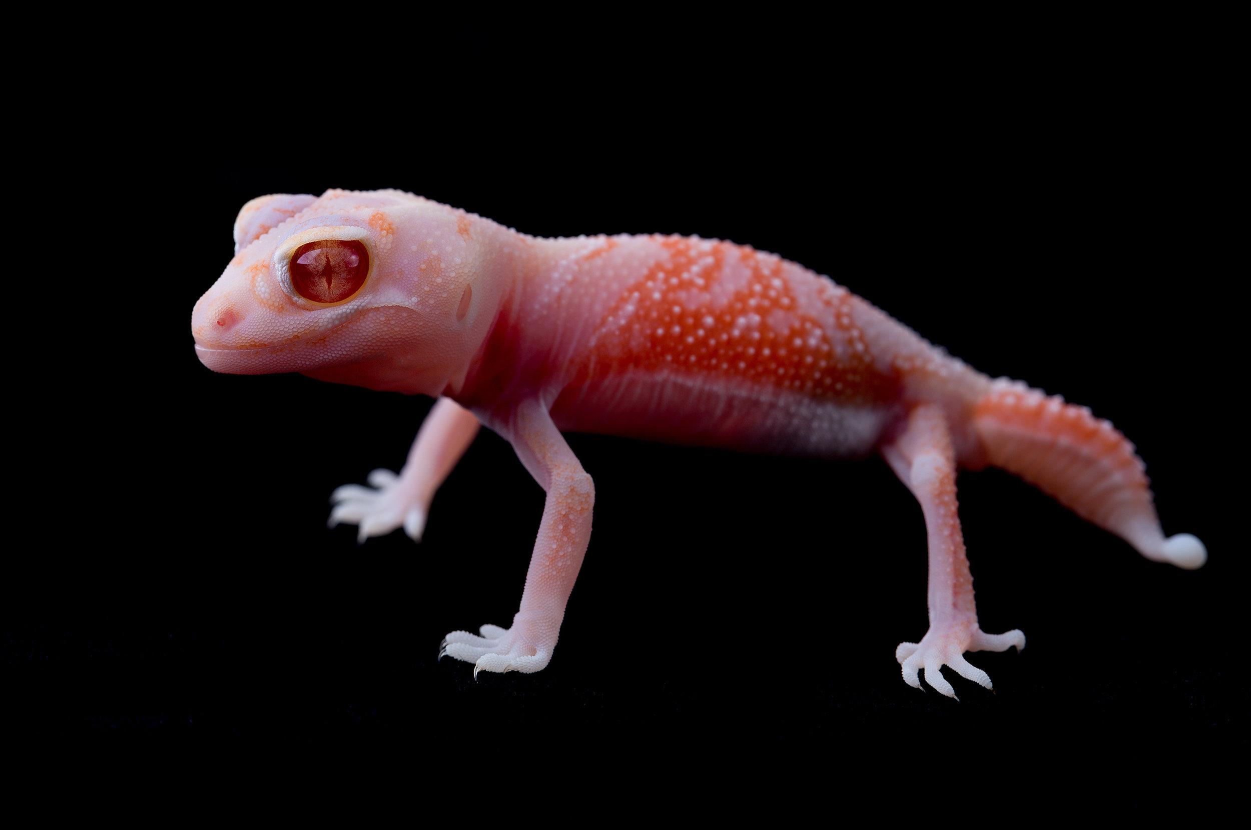 Hatchling albino