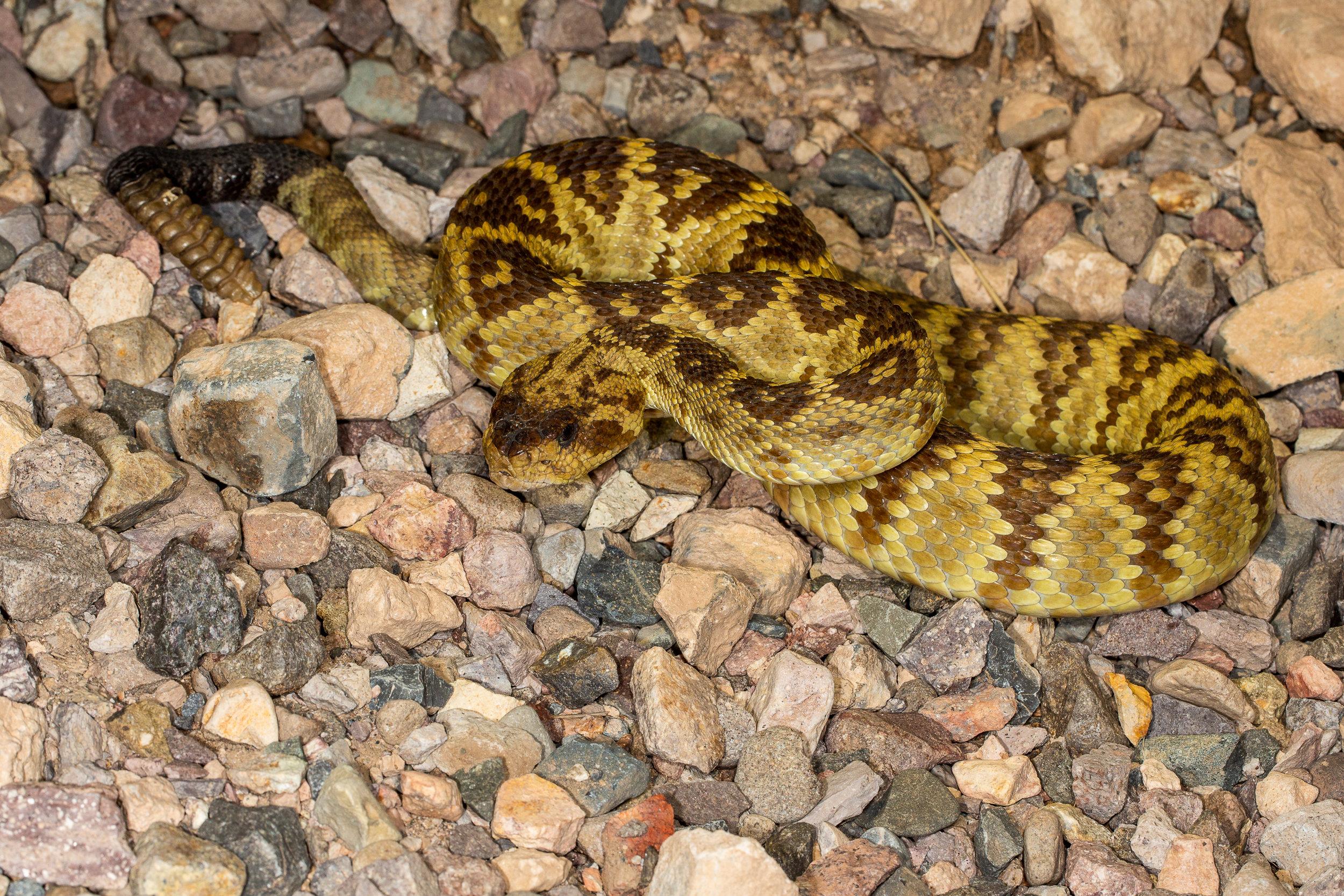 Black-tailed Rattlesnake ( Crotalus molossus )