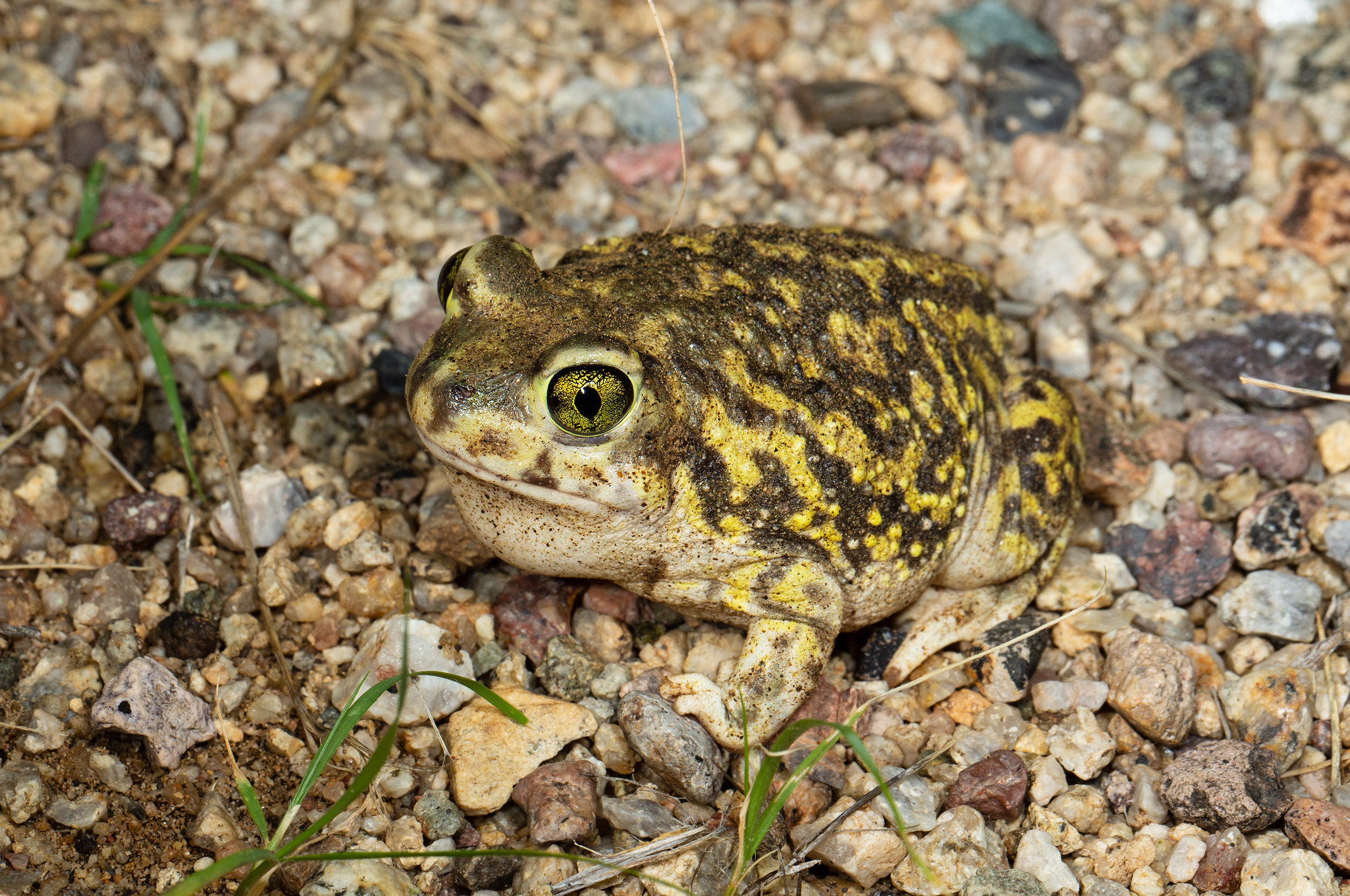 Couch's Spadefoot ( Scaphiopus couchii )
