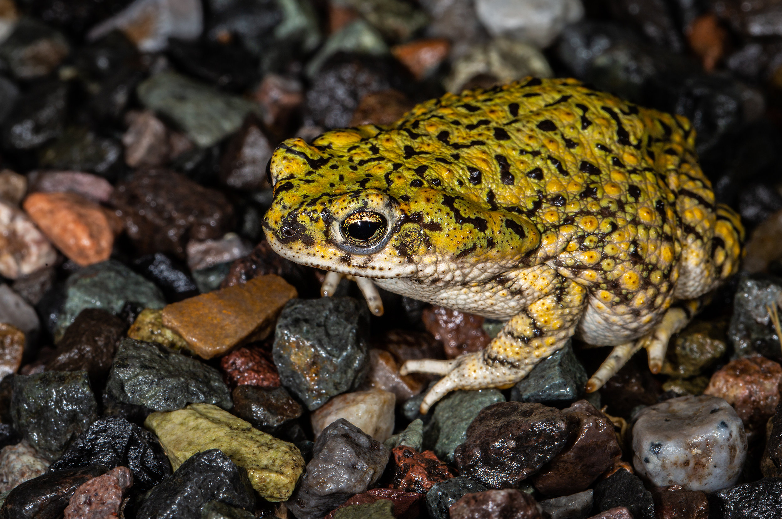 Green Toad ( Bufo debilis )