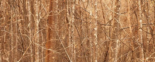 Aurelian Wildwood | Limited Edition 100
