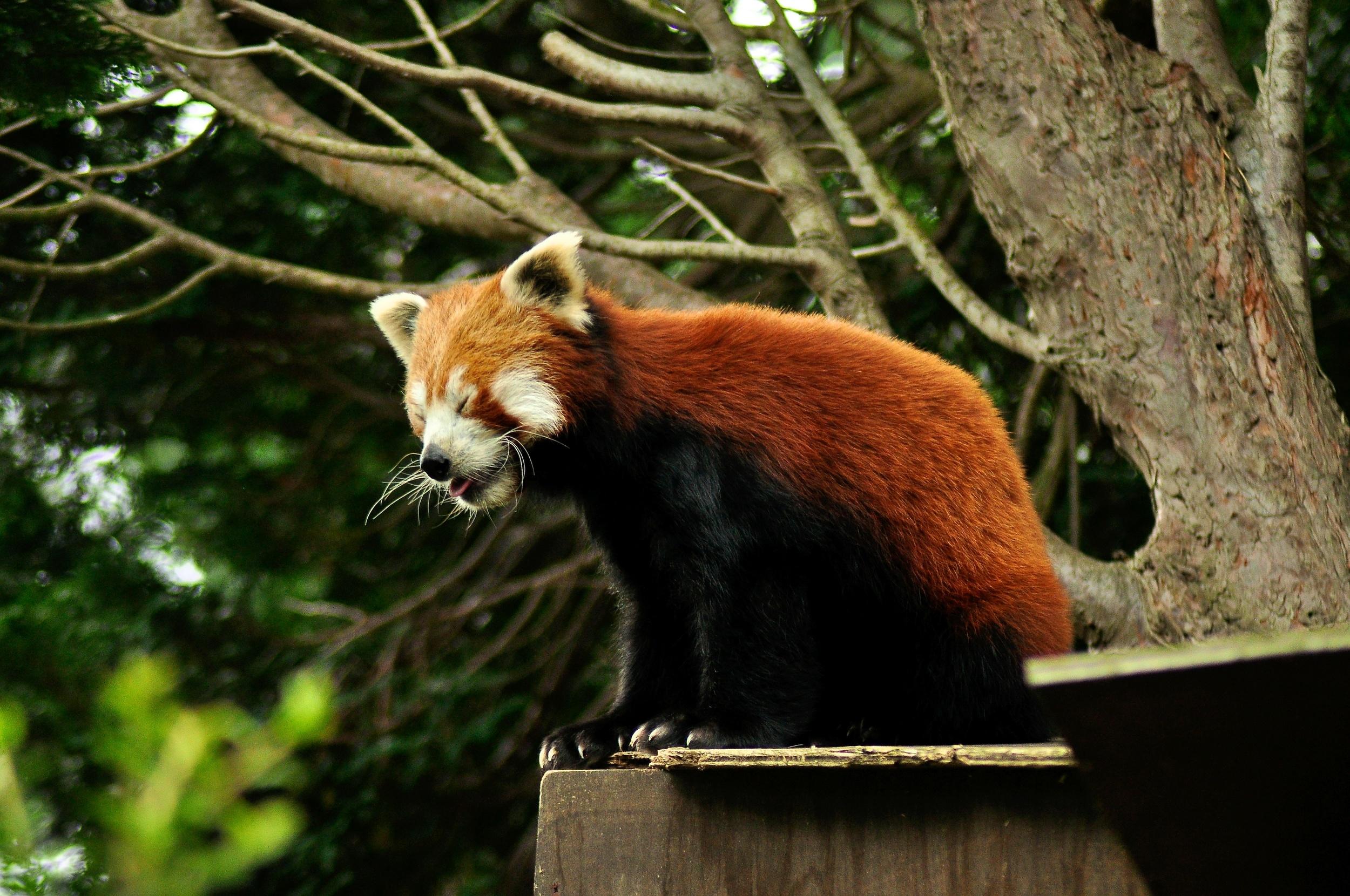 Welsh Mountain Zoo 285.jpg