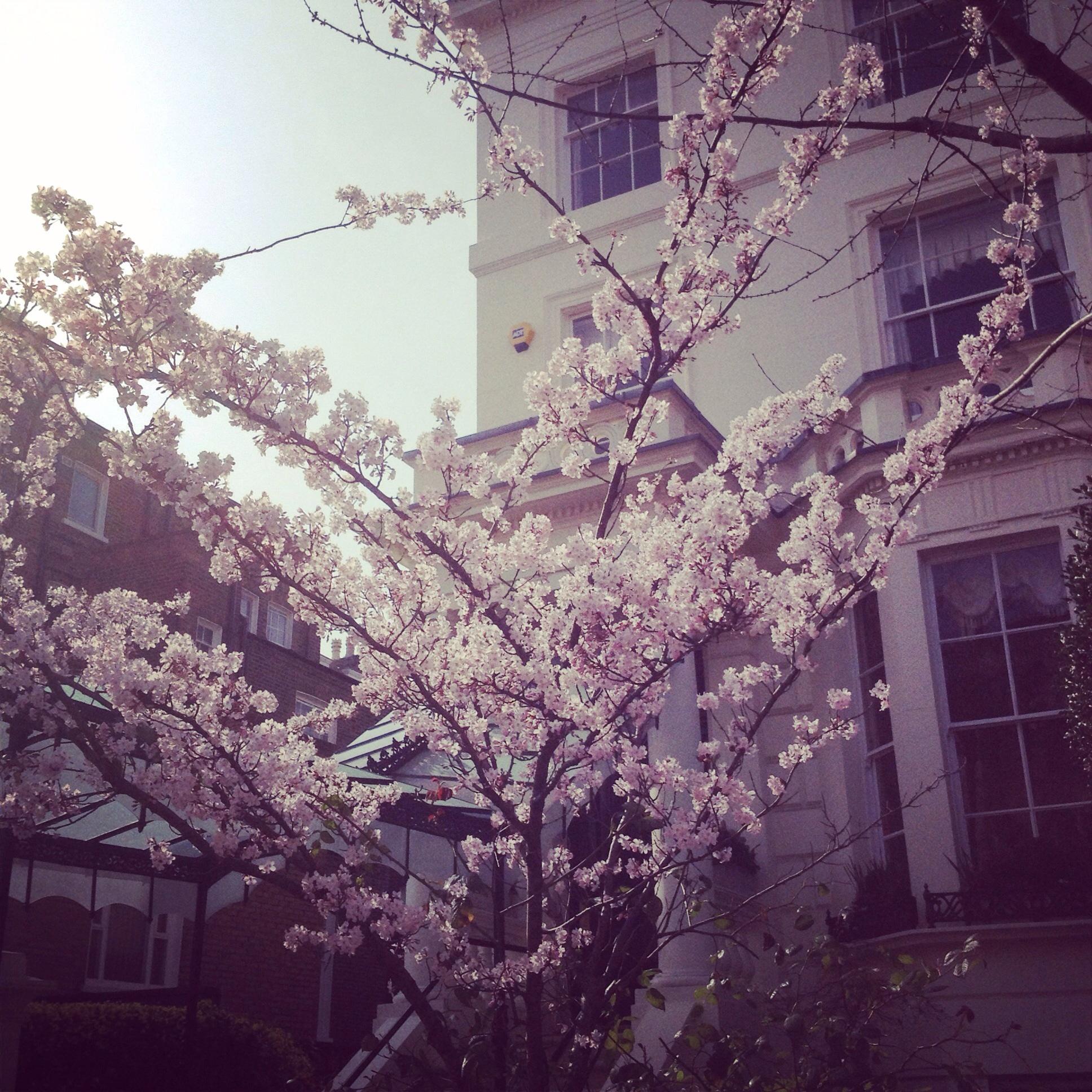 Cherry Blossom Tree in London