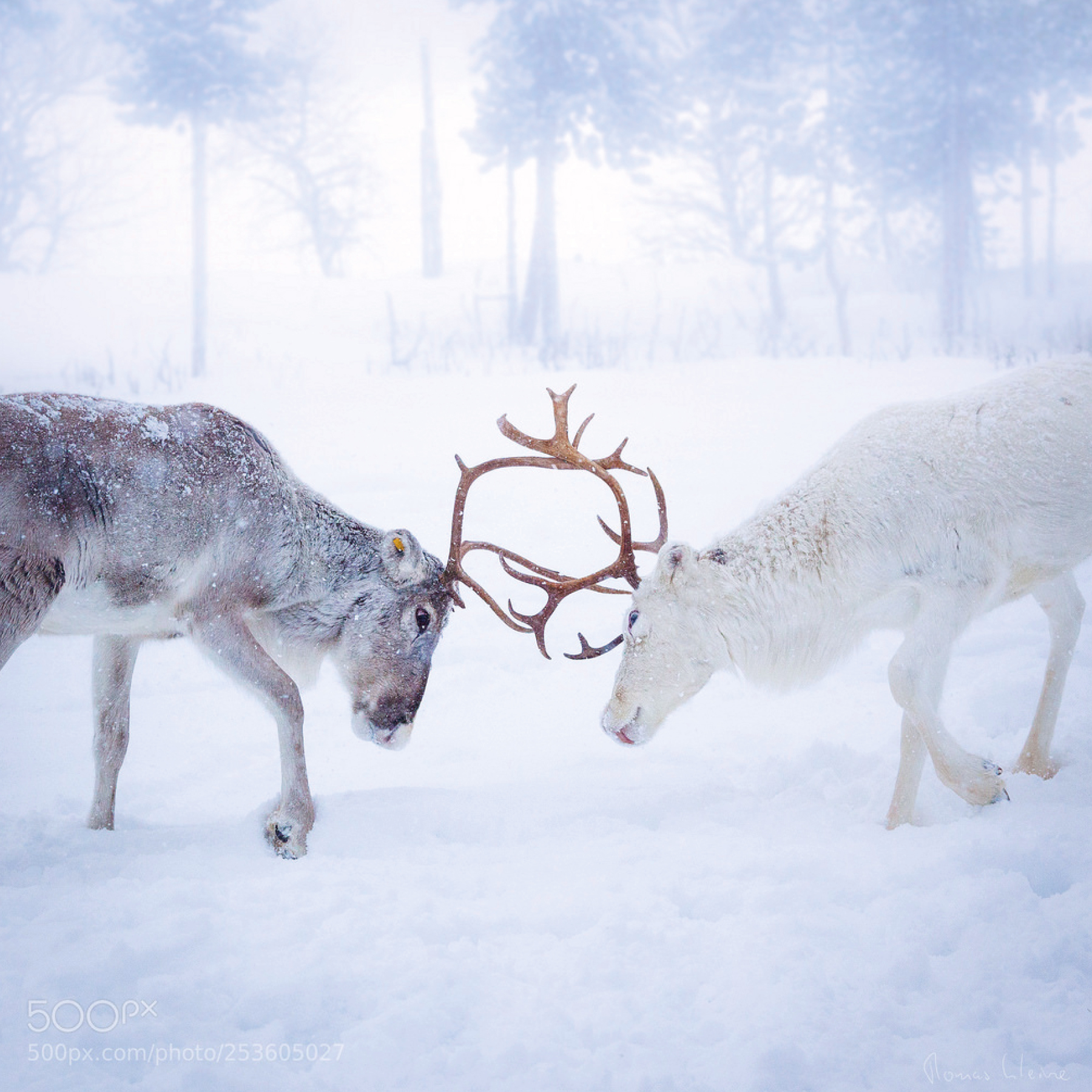 This image was taken a few miles east of Nellim in Finish Lapland in rather harsh weather. We met these two reindeers in mystic light during an excursion with snowmobiles near the Russian border. Thomas is living in Germany near Hamburg and in Sweden near Borås. He has just finished a book project on the beauty of northern Norway.