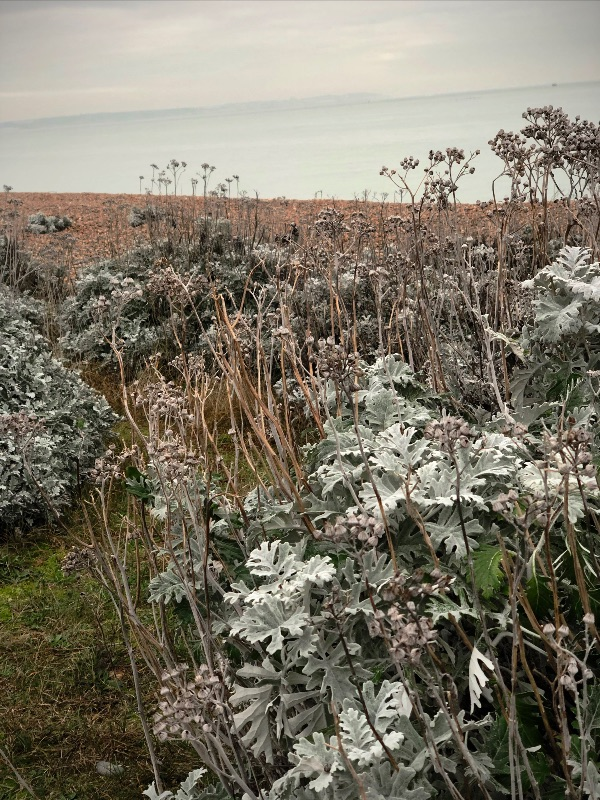 Wintery Leaves of the Silver Ragwort, Deal, Kent.