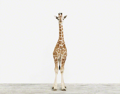 Baby+Giraffe_3_Baby+Animal+Photography+Prints.jpg