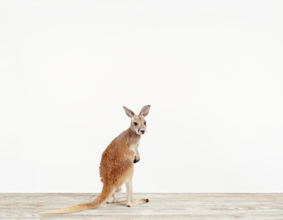 Baby-Kangaroo_Baby-Animal-Photohraphy-Pictures.jpg