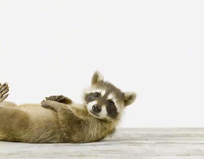 Baby+Racoon_Baby+Animal+Photography+Prints.jpg