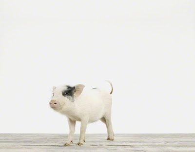 Piglet_Baby+Animal+Photography+Prints.jpg