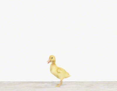 Baby+Animal+Photography+Pictures_Duckling.jpg