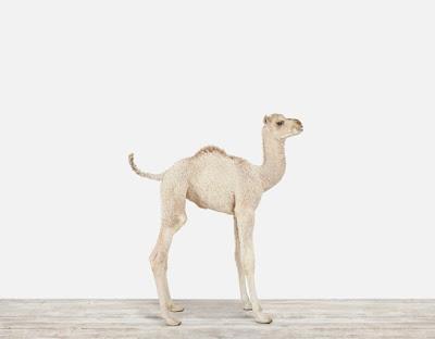 Baby-Camel-Nursery-Art_Main.jpg