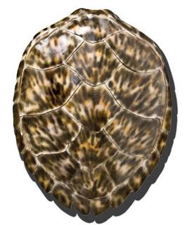Brown+Hawksbill+Turtle.jpg